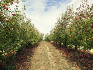 apple-tree-32QJ4GZ (1)_1280x960